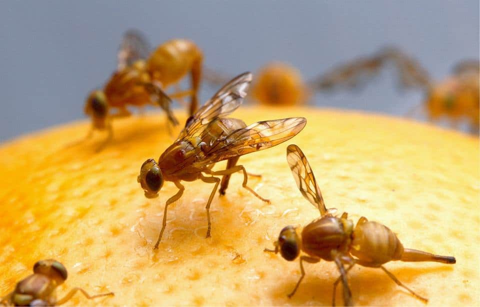 Fruit flies feeding on an orange